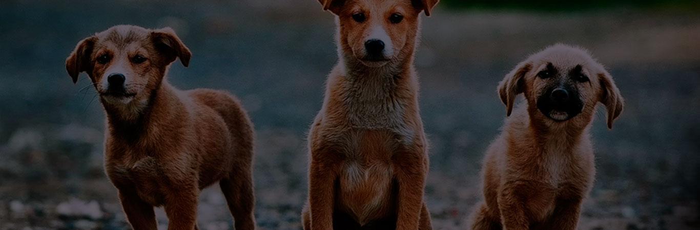 raza de perros