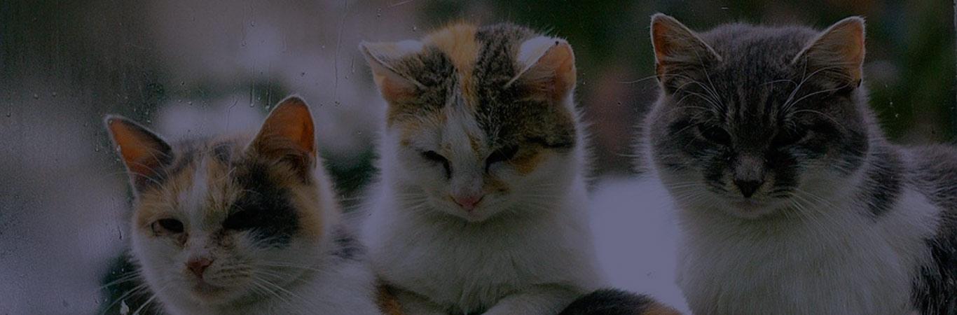 razas-de-gatos
